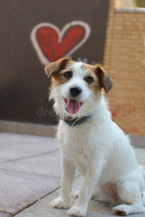 SAN VALENTINE LOVE DOG. JACK RUSSELL WITH A HEART SHAPE LIKE BACKGROUND. SAN VALENTINE LOVE DOG. JACK RUSSELL WITH A RED GRAFITTI HEART SHAPE LIKE BACKGROUND royalty free stock photos