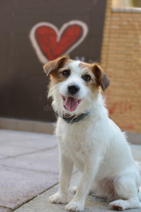 SAN walentynki miłości pies JACK RUSSELL Z KIEROWYM kształtem JAK tło zdjęcia royalty free