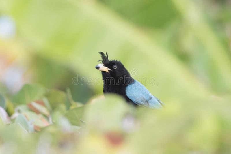 Sanblasianus di San Blas Jay Cyanocorax nel Messico fotografia stock libera da diritti
