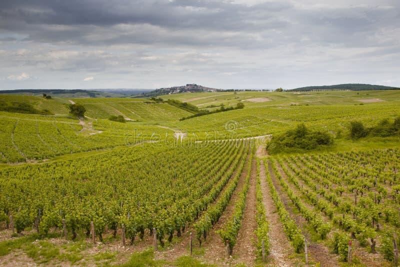 Sancerrois winogrady obraz stock