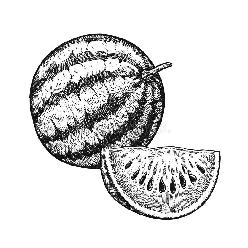 Sandía del grabado del vintage stock de ilustración