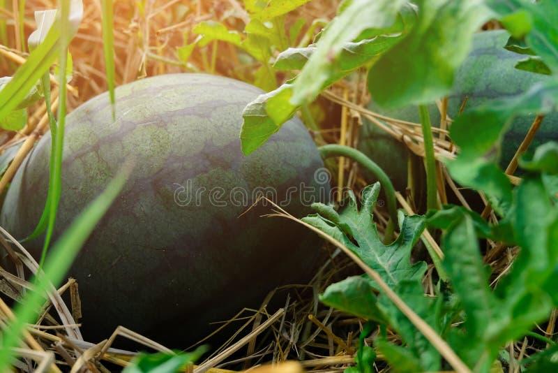 Sandías maduras que crecen en el jardín, cosechando fotografía de archivo libre de regalías