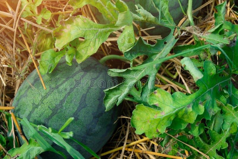 Sandías maduras que crecen en el jardín, cosechando imágenes de archivo libres de regalías