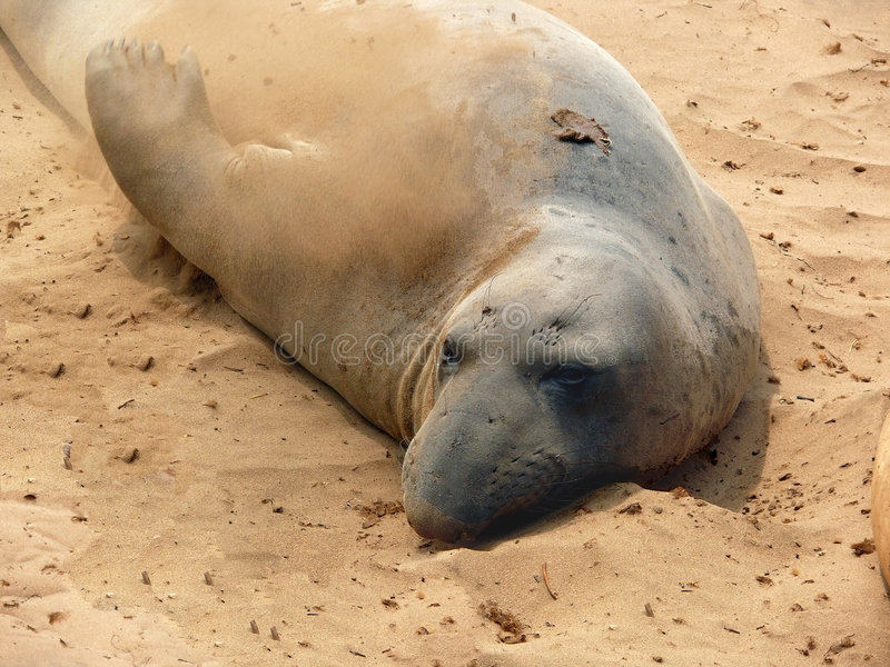 Download Sand bath seal style stock image. Image of whiskers, blubber - 6452815