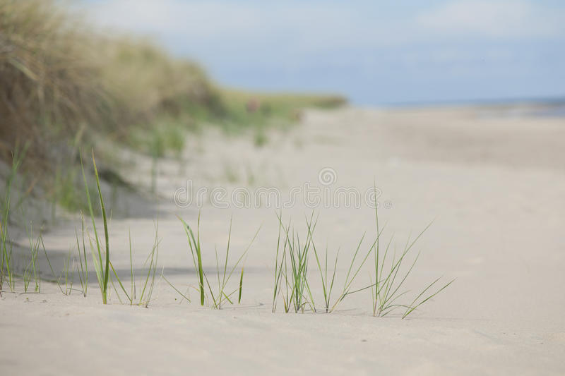 Download Sand beach and reed.GN stock image. Image of plant, sandy - 36826241