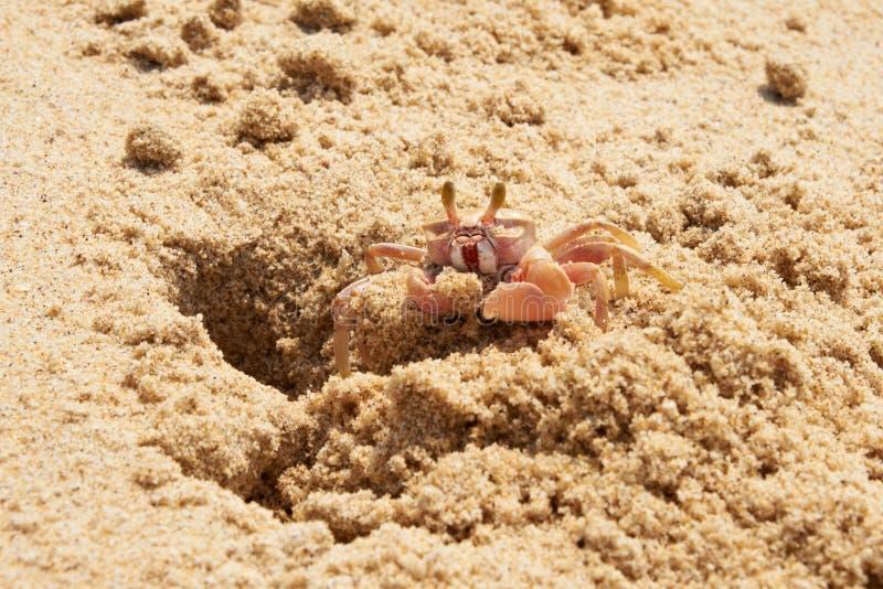 Sand-Befestigungsklammer (Ocypode) einen Bau grabend stockbilder