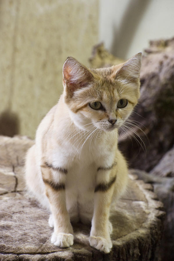 Sand Cat. Cat lives in the Sahara stock image