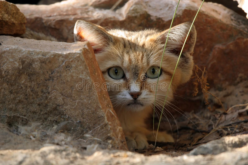 Sand Cat. A sand cat is hiding behind a rock royalty free stock photography