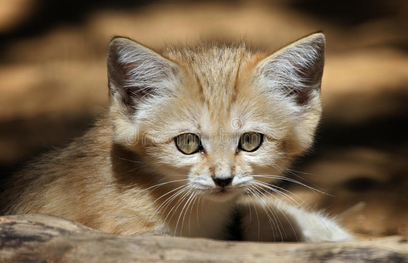 Sand Cat. A sand cat close up portrait royalty free stock image