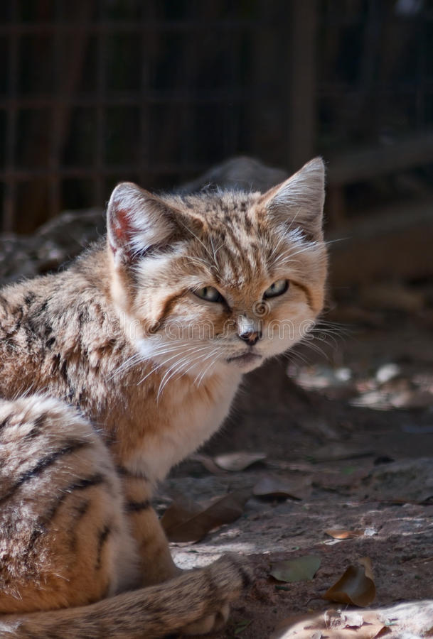 The sand cat. (Felis Margarita stock photos