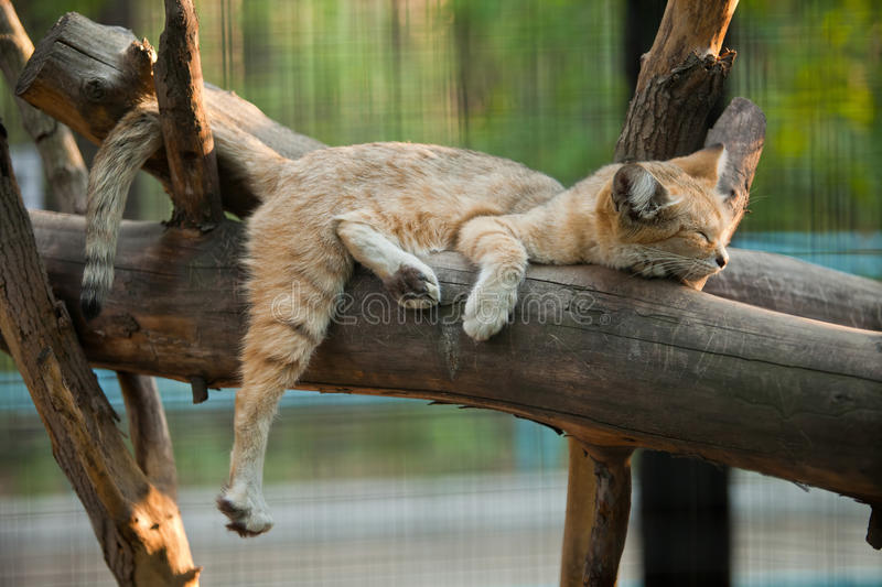 Sand cat. Sleeping on wood royalty free stock images