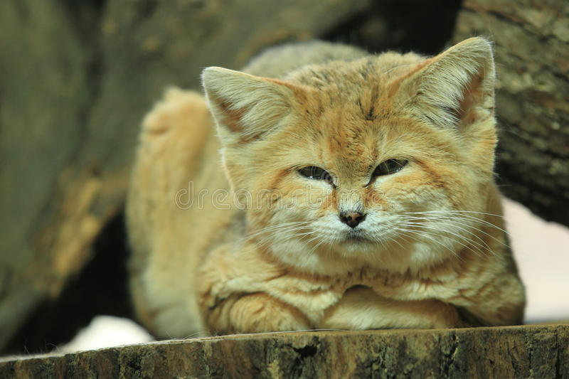 Sand cat. The sand cat lying on the stub royalty free stock image