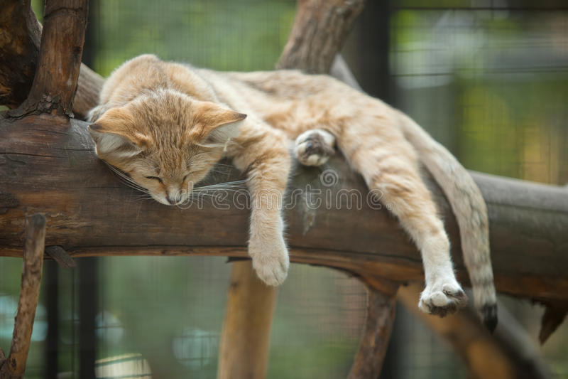 Sand cat. Lying on branch royalty free stock photography