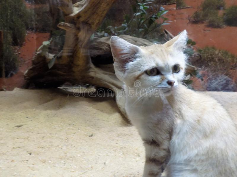 Sand cat. The adorable sand cat coming out of hiding at the zoo in Washington DC stock photography