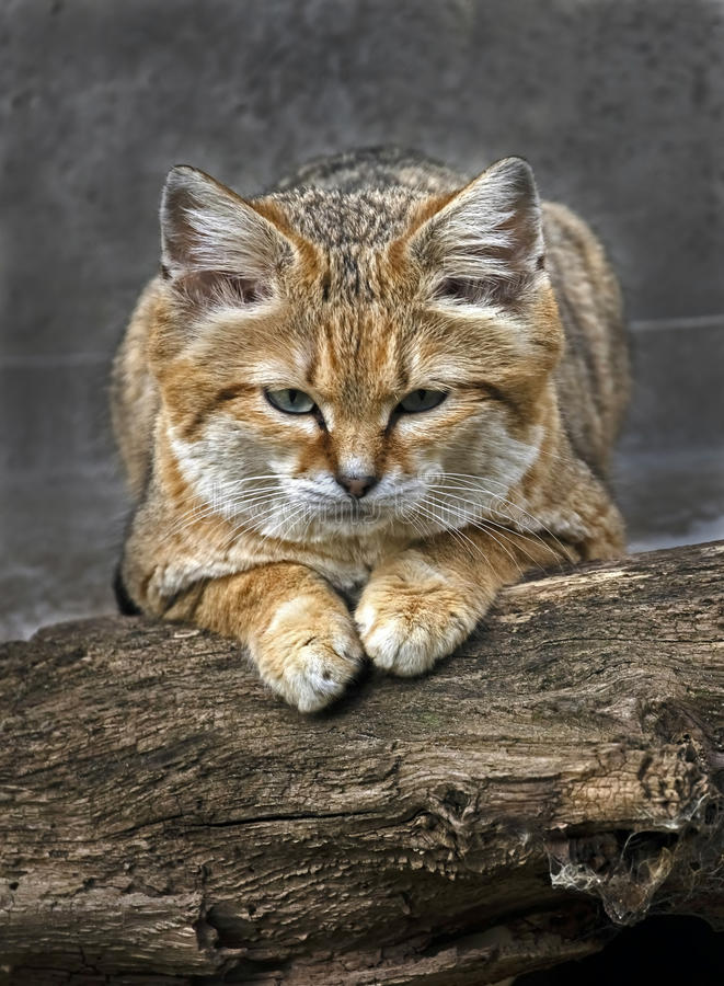 Sand cat 3. Sand cat also known as the sand dune cat. Latin name - Felis margarita stock photography