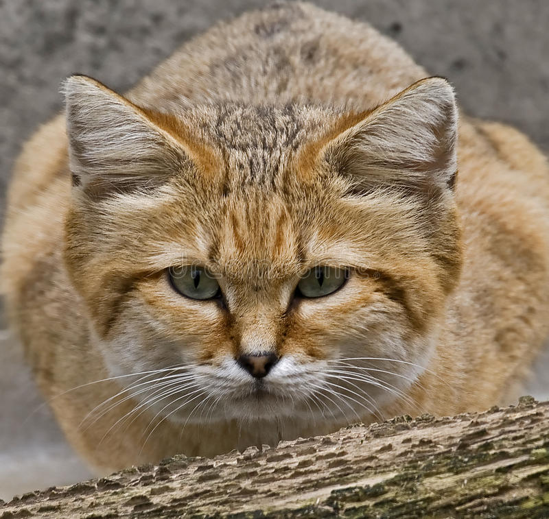 Sand cat 1. Sand cat also known as the sand dune cat. Latin name - Felis margarita stock photography