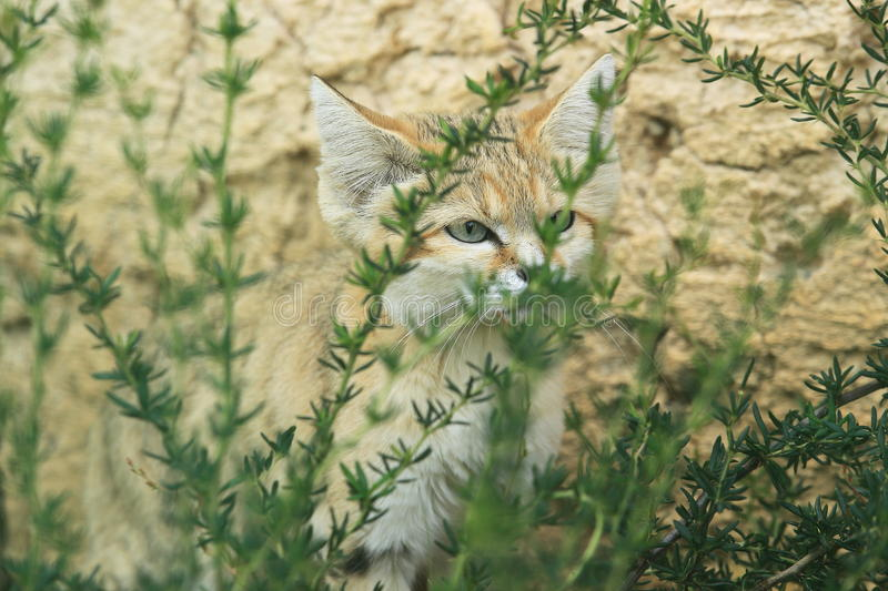 Sand cat. Behind the bush stock image