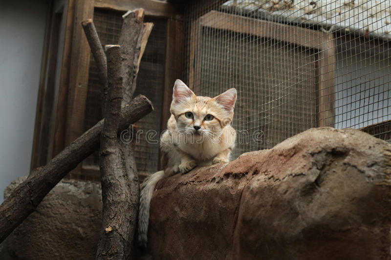 Sand cat (Felis margarita). Sand cat (Felis margarita), also known as the sand dune cat. Wild life animal royalty free stock photos