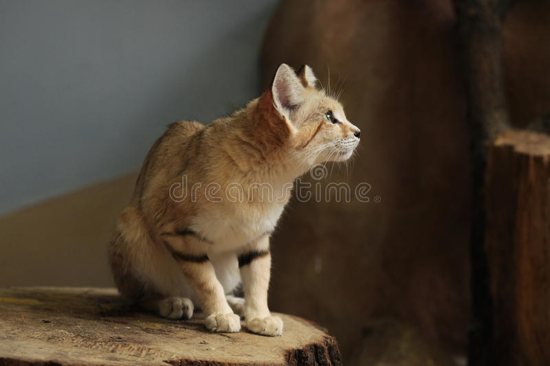 Sand cat (Felis margarita). Sand cat (Felis margarita), also known as the sand dune cat. Wild life animal royalty free stock photography