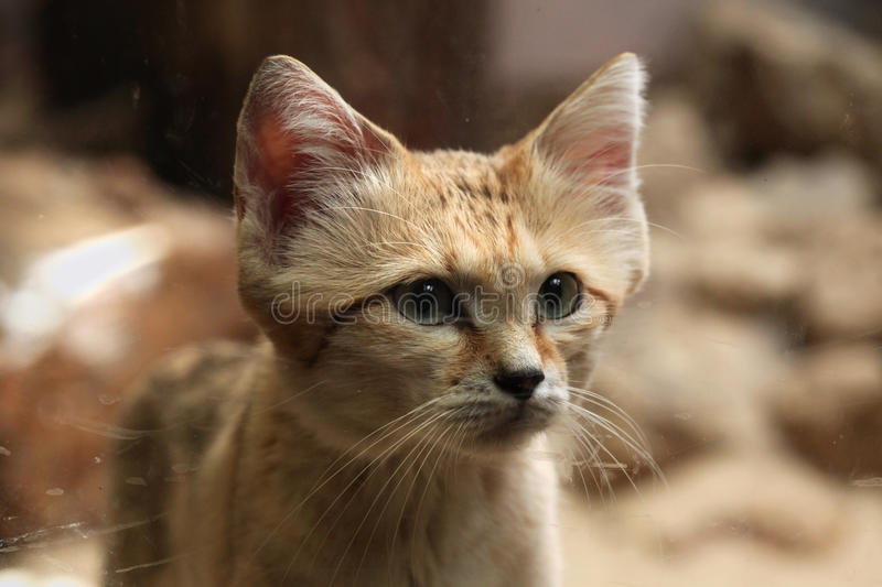Sand cat (Felis margarita). Sand cat (Felis margarita), also known as the sand dune cat. Wild life animal stock photography