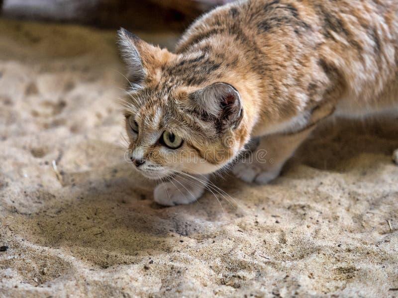 Sand cat, Felis margarita, is focused on hunting. One Sand cat, Felis margarita, is focused on hunting royalty free stock photo