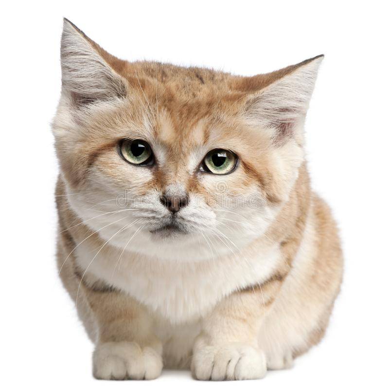 Sand cat, Felis margarita, 17 years old. Sitting in front of white background royalty free stock photography