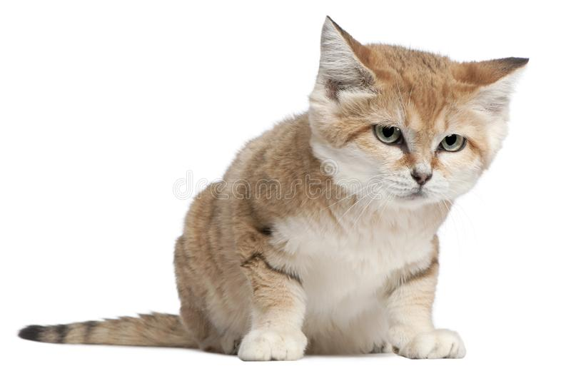 Sand cat, Felis margarita, 17 years old. Sitting in front of white background royalty free stock photo