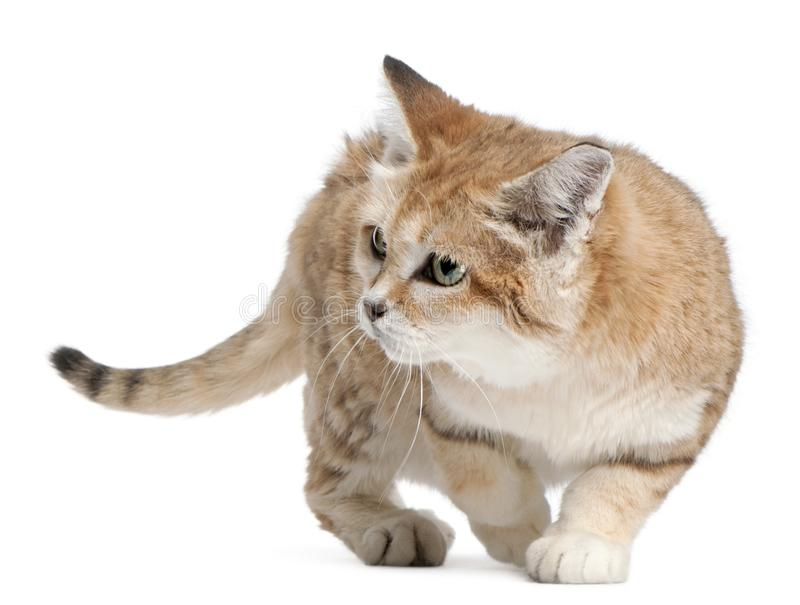 Sand cat, Felis margarita, 17 years old. Walking in front of white background royalty free stock photo