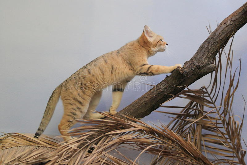 Sand cat. The sand cat going up to the trunk royalty free stock image