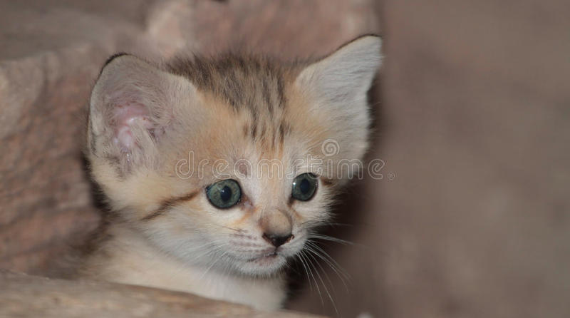 Sand cat kitten. A cute sand cat kitten royalty free stock photography