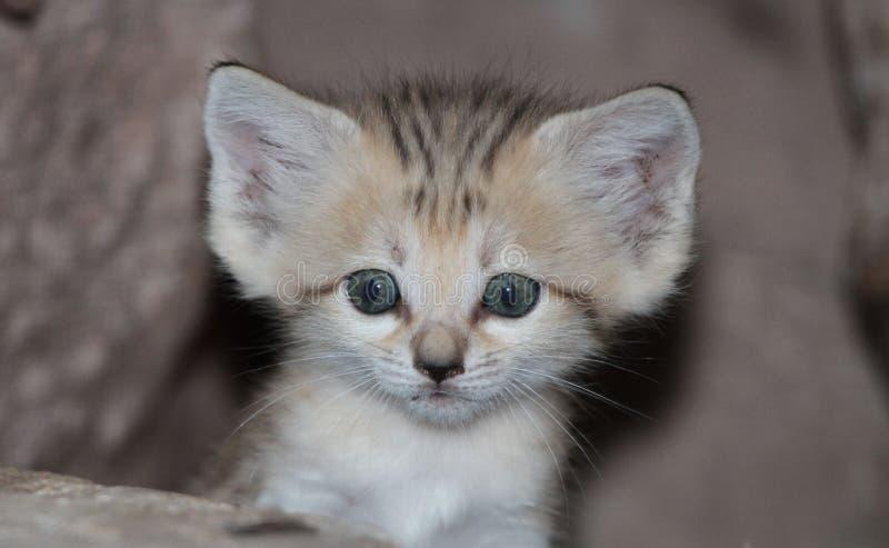 Sand cat kitten. A cute sand cat kitten stock images