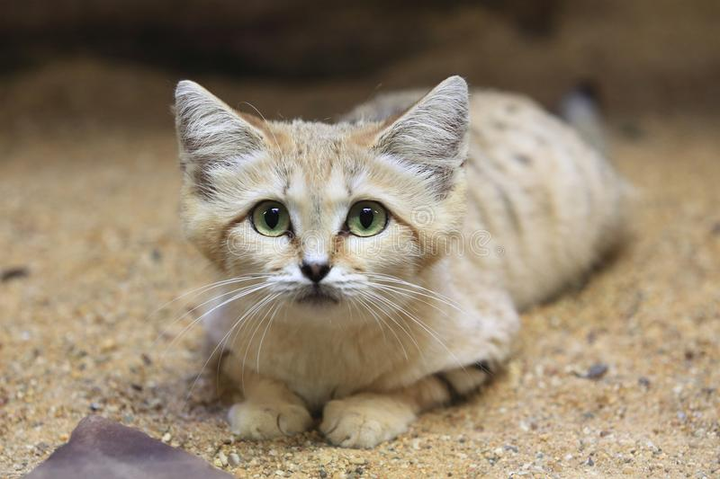 Sand cat. Lying on the sand royalty free stock photos
