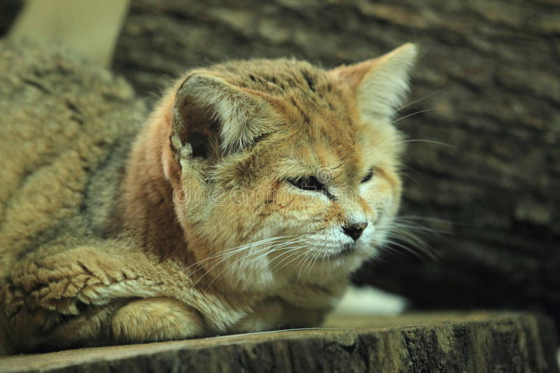 Sand cat. The sand cat lying on the stub royalty free stock photos