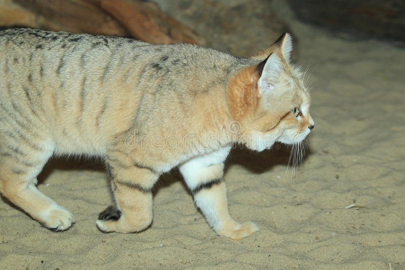 Sand cat. Strolling on the sand stock photography