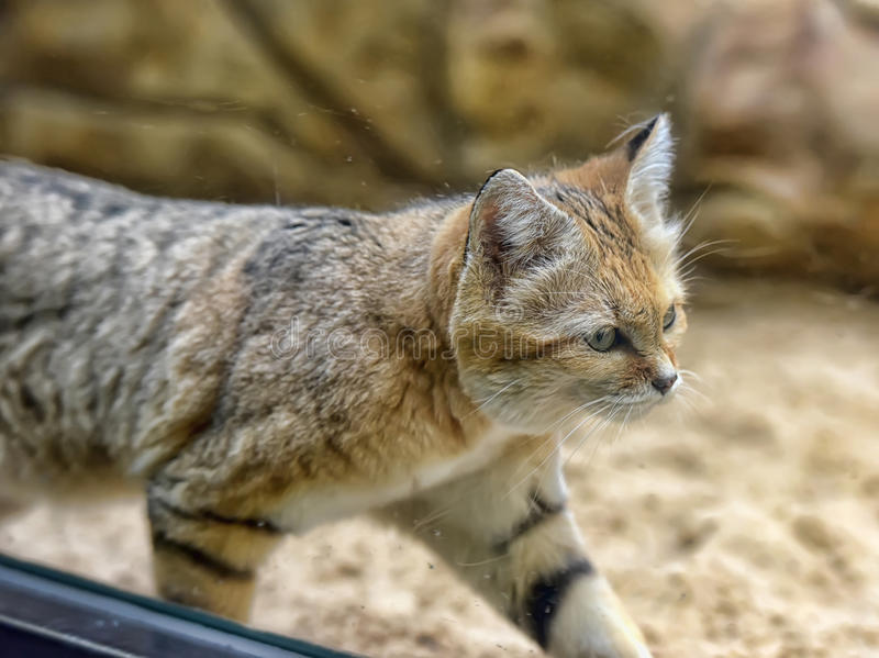 Sand cat. A very grumpy looking Arabian Sand Cat stock photos