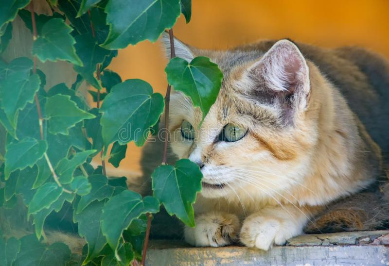 Sand cat is watching prey.  royalty free stock photos