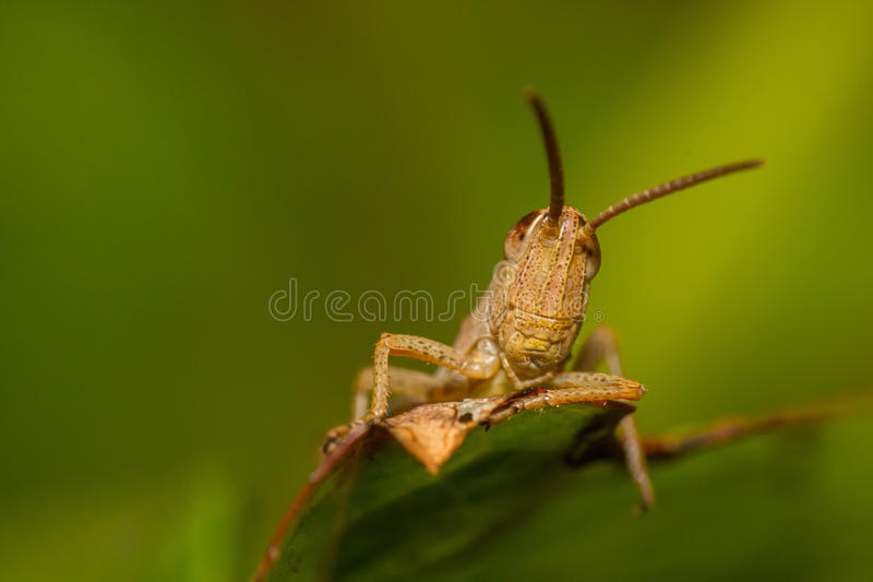 Sand colored grasshopper royalty free stock photo