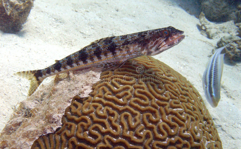 Download Sand diver on brain coral stock image. Image of coral - 12892117