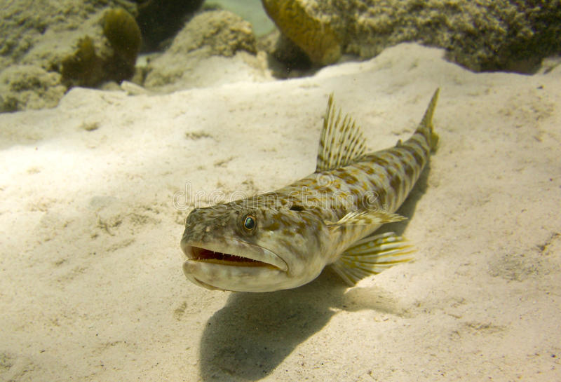 Download Sand Diver Fish (synodus Intermedius) Stock Image - Image: 15855615