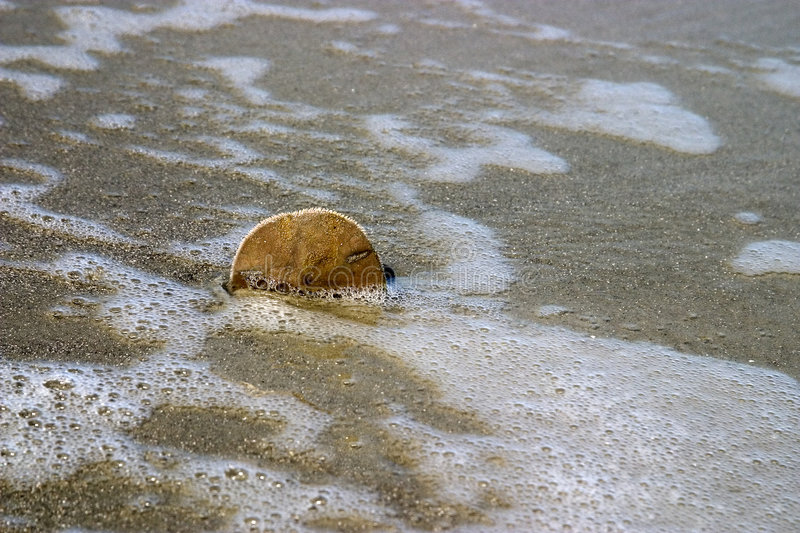 Download Sand Dollar in the sand stock image. Image of surf, dollar - 186115