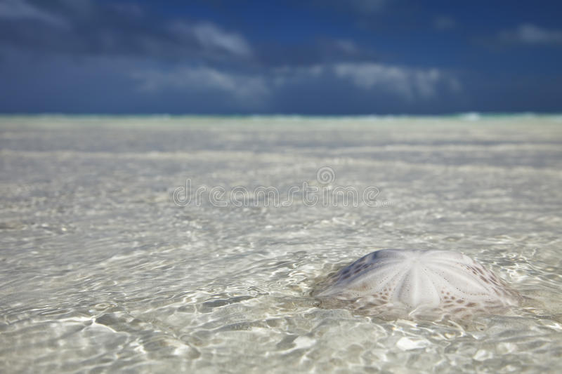 Sand dollar in the sea with sky royalty free stock image