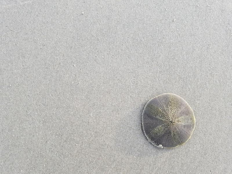 Sand dollar on white sand beach stock photography
