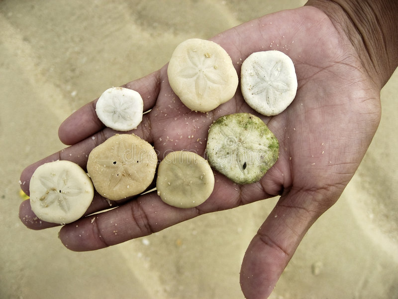 Download Sand Dollars In Hand On Beach Stock Photo - Image: 3871730