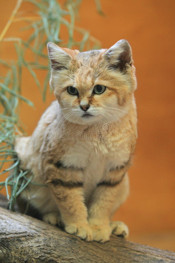Sand dune cat. The sand dune cat sitting on the wood stock photos