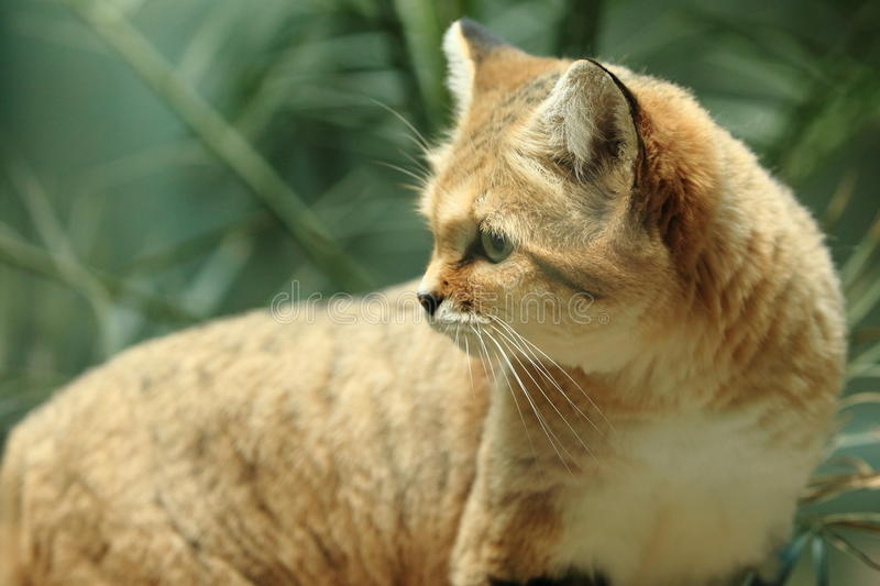 Sand dune cat. The detail of sand dune cat royalty free stock image