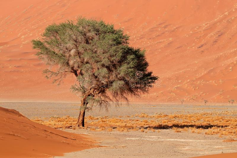 Sand dune and tree - Namib desert stock photography