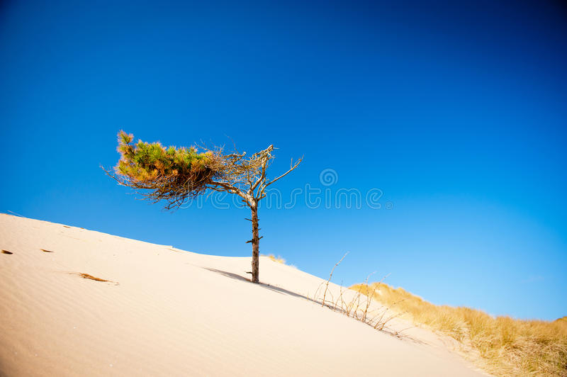 Download Sand dunes and pine tree stock image. Image of blue, green - 34240179