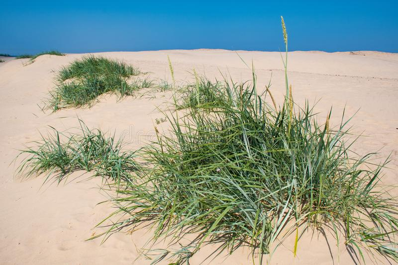 Sand and grass, reeds, stalks royalty free stock photography