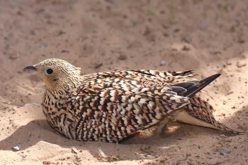 Sand Grouse Bird