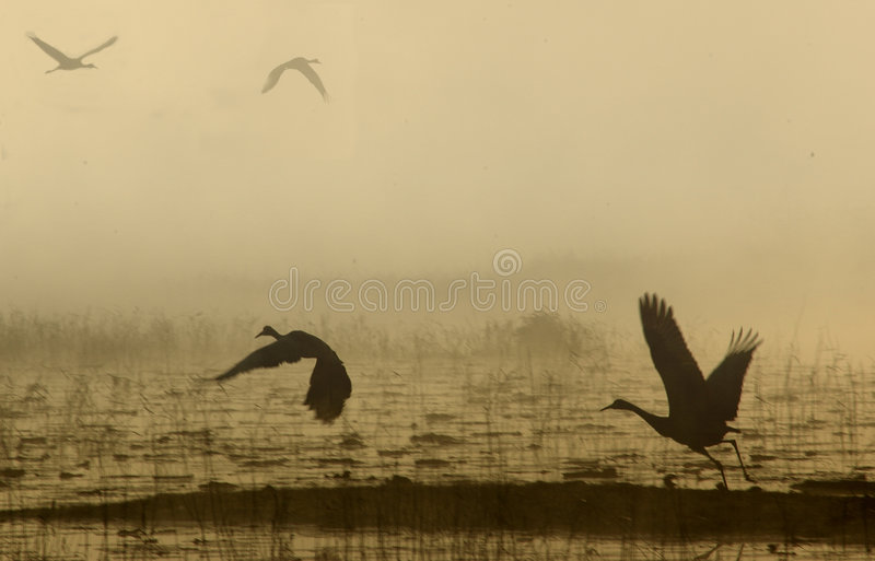 Sand Hill Crane in flight stock photography